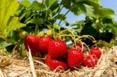 کاشت توت فرنگی در باغچه