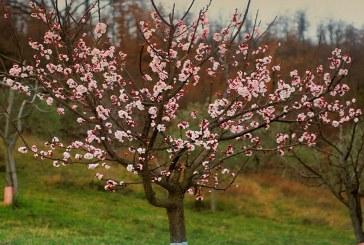 هرس درخت زردآلو را چگونه انجام دهیم؟