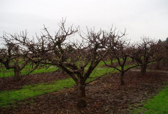 هرس درخت سیب را چگونه انجام دهیم؟