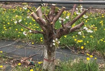 هرس درخت گیلاس