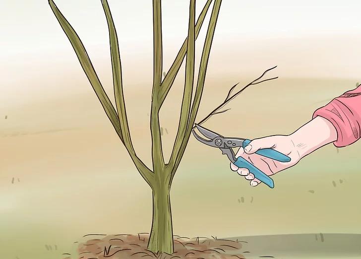 هرس درخت انار به روش چند شاخه اصلی